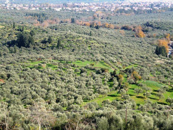 Olijfbomen in de planken van Parnonas met uitzicht op Sparta