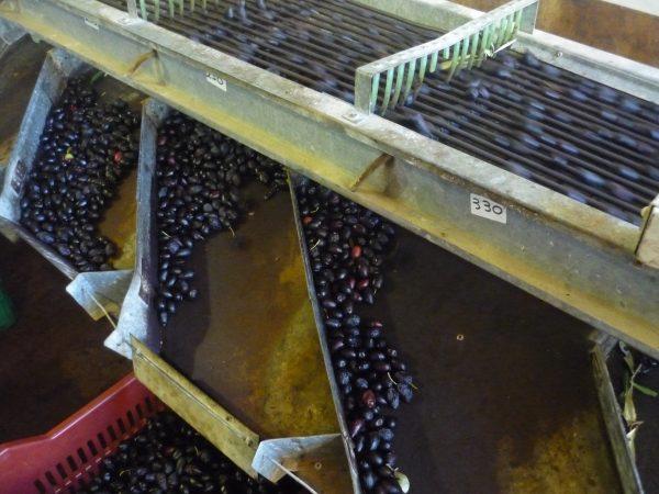 de olijven worden gesorteerd in categorieën